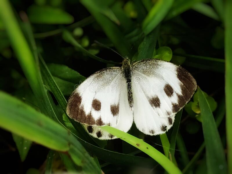Pieris canidia, the Indian cabbage white, is a butterfly in the family Pieridae found in India, Nepal and Indochina. stock photography