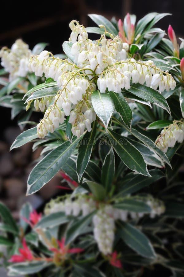 Pieris japonés - arbusto del lirio de los valles foto de archivo libre de regalías