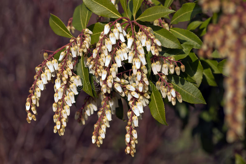 Pieris Japonica stockbilder