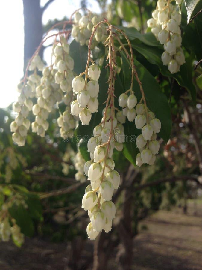 Pieris Japonica, 'florescência japonesa da planta de Bels do templo' do Andromeda fotografia de stock royalty free