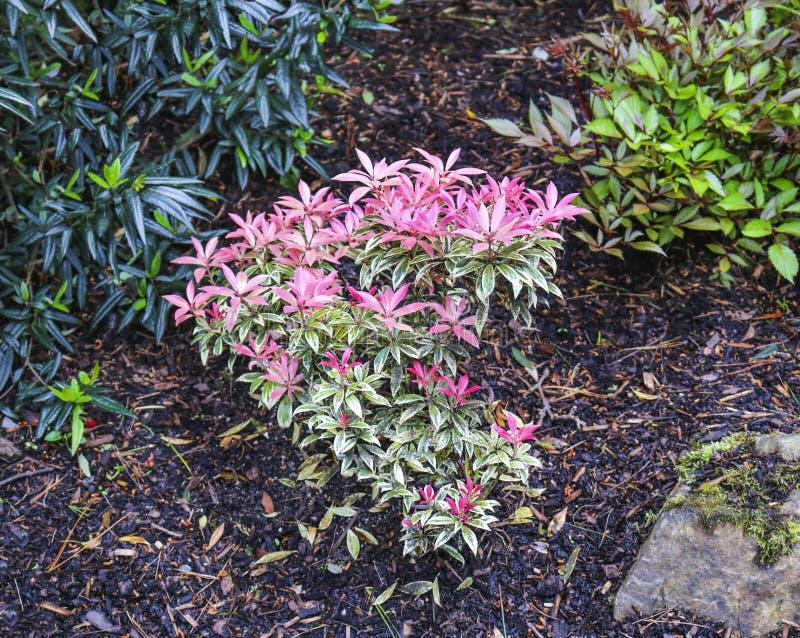 Pieris japonica. Fresh new spring growth of Pieris japonica royalty free stock photo