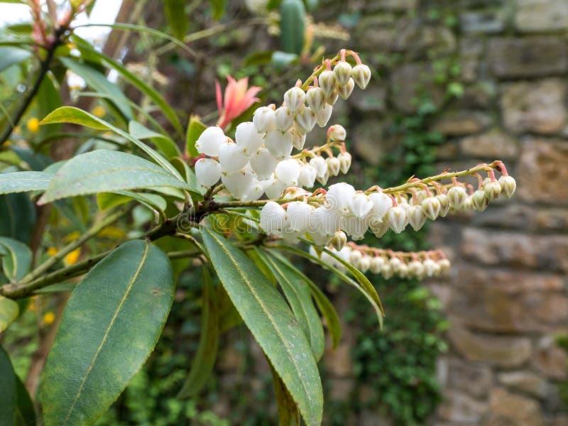 Pieris japonica oder Andromeda oder fetterbush Anlage lizenzfreies stockfoto