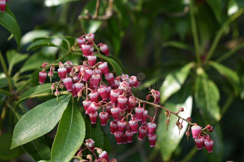 Pieris japonica rośliny dorośnięcie w ogródzie fotografia stock
