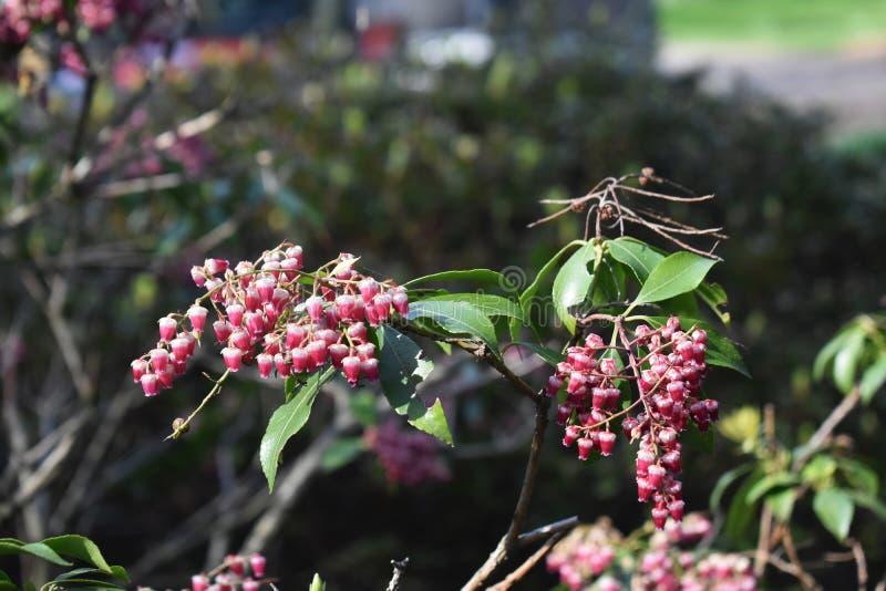 Pieris japonica rośliny dorośnięcie w ogródzie fotografia royalty free