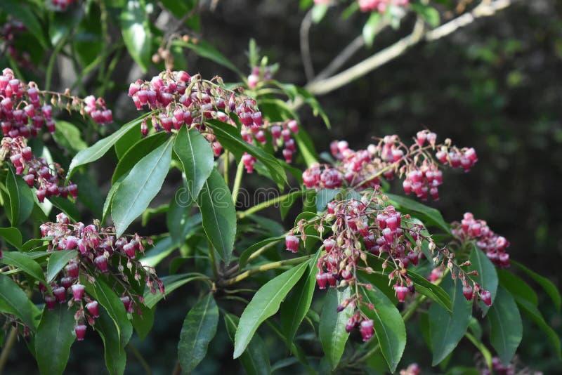 Pieris japonica rośliny dorośnięcie w ogródzie zdjęcia royalty free
