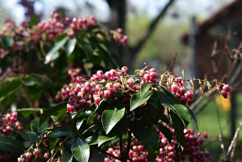 Pieris japonica rośliny dorośnięcie w ogródzie zdjęcie stock