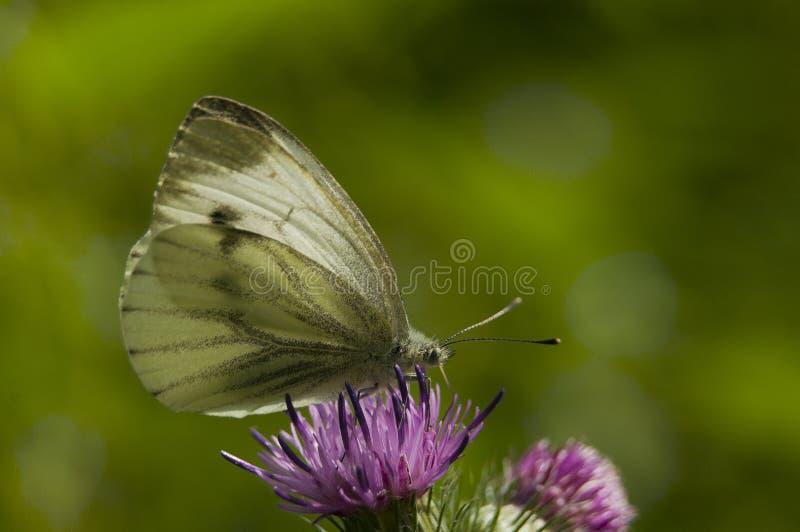 Download Pieris napi stock image. Image of animal, pieris, butterfly - 17022773