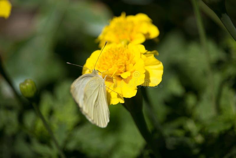 Pieris rapae auf gelbem Tagetes lizenzfreies stockfoto