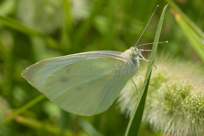 Pieris rapae. The small white (Pieris rapae) is a small- to medium-sized butterfly species of the whites-and-yellows family Pieridae. It is also known as the stock image