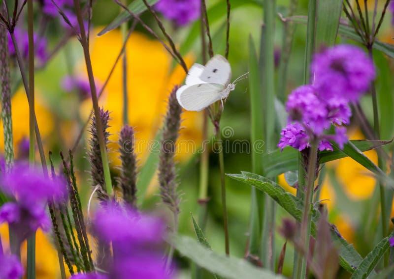 Pierisbrassicae, den vita stora fjärilen flyger till och med fältet med lilan, och guling blommar royaltyfri foto