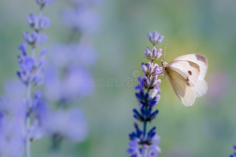 Pierisbrassicae, grote wit, ook genoemd koolwitje stock foto's