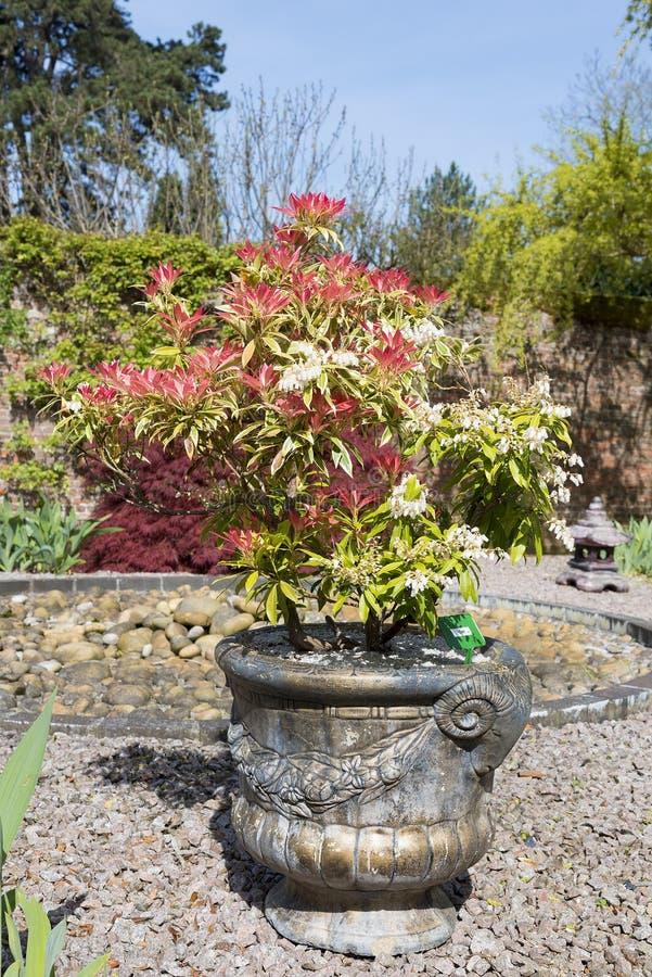 Pierisbuske som är fullvuxen i en behållare på grus med färgrik röd le arkivfoton