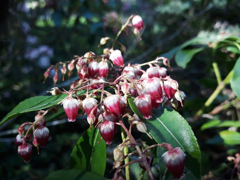 Pierisjaponicaväxt som växer i trädgården arkivbilder
