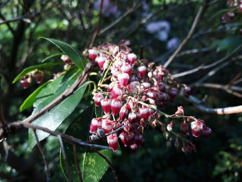 Pierisjaponicaväxt som växer i trädgården fotografering för bildbyråer