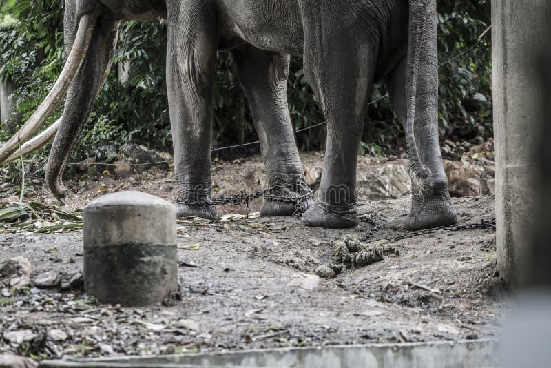 Pierna bloqueada de cadena del elefante con el foco selectivo del tono oscuro foto de archivo libre de regalías