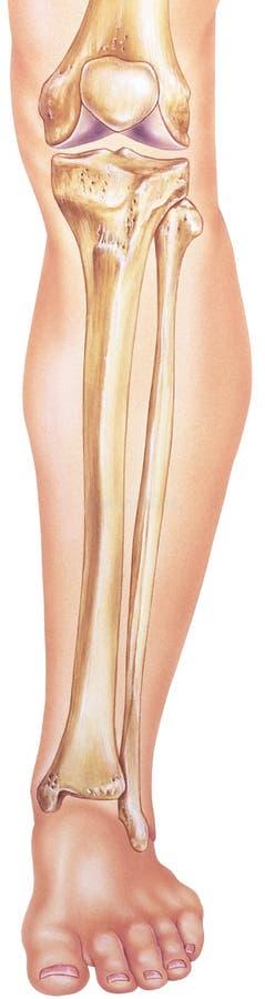 Pierna - huesos y juntas más bajos in situ stock de ilustración