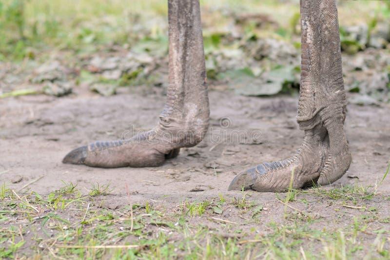 Piernas de la avestruz fotografía de archivo libre de regalías
