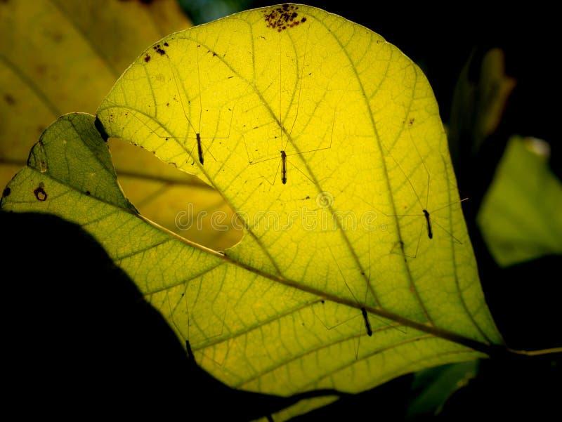 Piernas largas del mosquito en la hoja amarilla imágenes de archivo libres de regalías