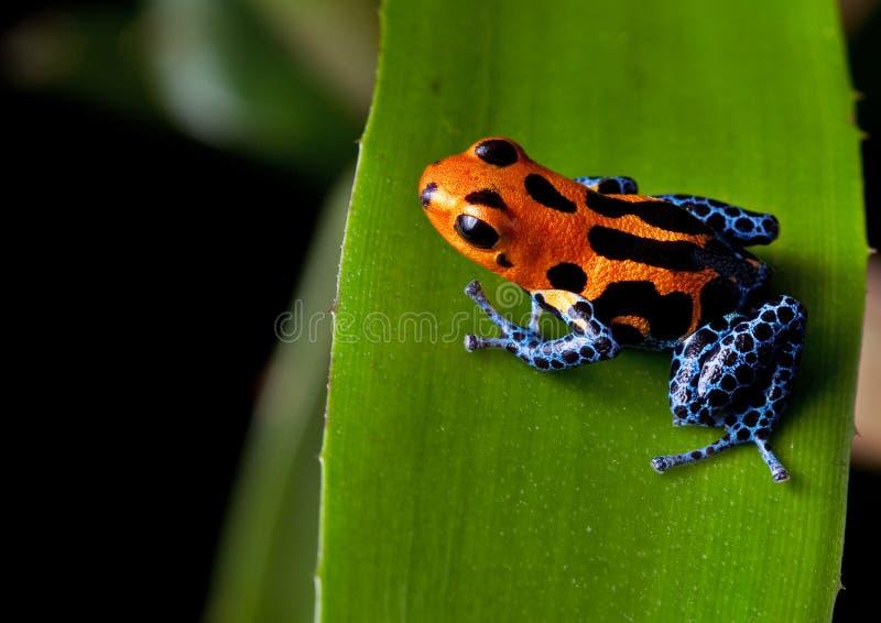 Piernas rayadas rojas del azul de la rana del dardo del veneno imagen de archivo libre de regalías