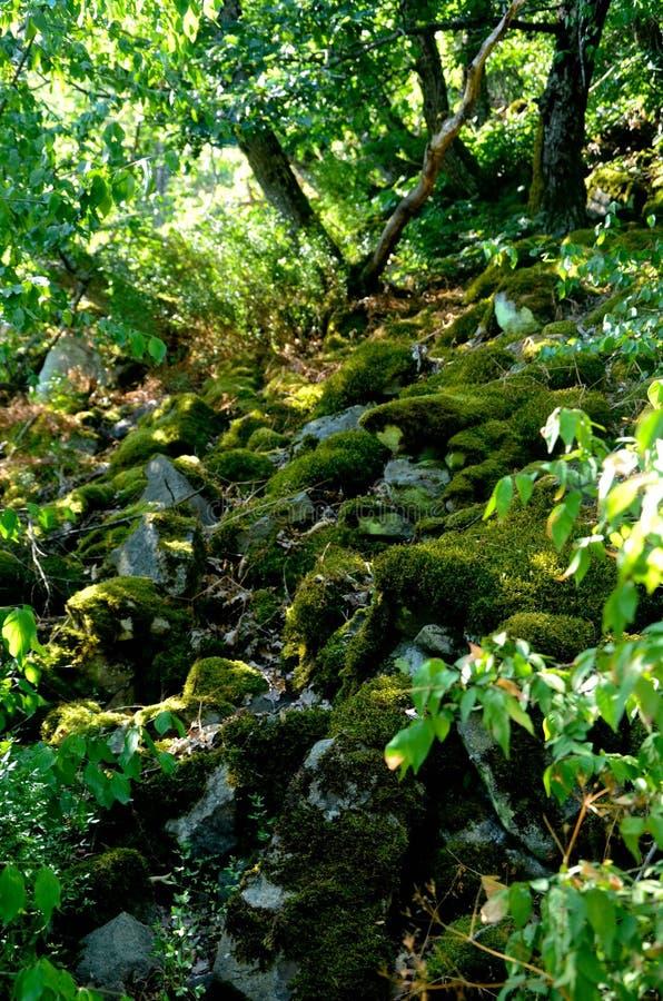 Pierres moussues dans la forêt photos libres de droits