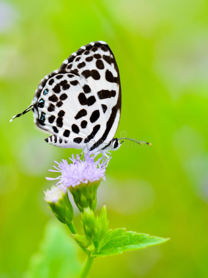 Pierrot comum, rosimon de Castalius, borboleta branca foto de stock royalty free
