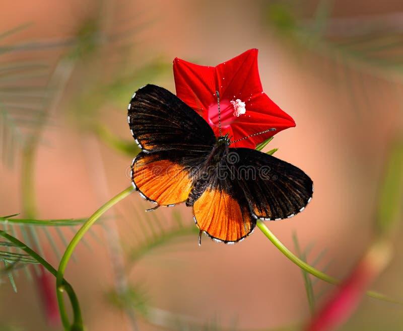 Pierrot de la mariposa o nyseus rojo de Talicada en la flor roja fotografía de archivo