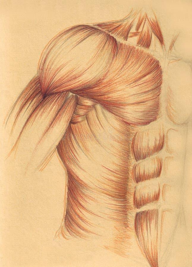 piersi mięśni ramię ilustracja wektor