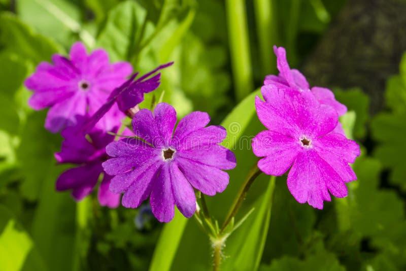Pierwiosnkowi «Prima bzu «kwiaty obrazy stock