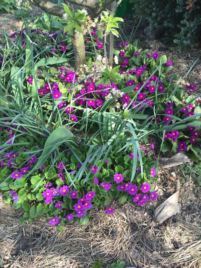 Pierwiosnkowi kwiaty fotografia royalty free
