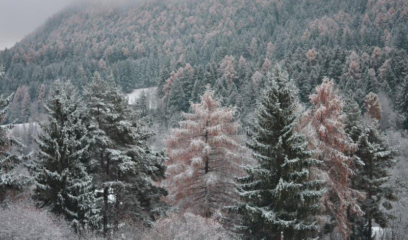 Pierwszy śnieg na modrzewiach po jesieni obrazy stock