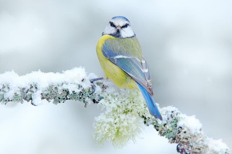 Pierwszy śnieg w naturze Śnieżna zima z ślicznym ptakiem śpiewającym Ptasi Błękitny Tit w lesie, płatki śniegu i ładny liszaj, ro obrazy royalty free