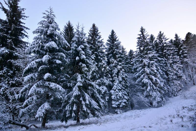 Pierwszy śnieg zima na Cansiglio lesie zdjęcie stock