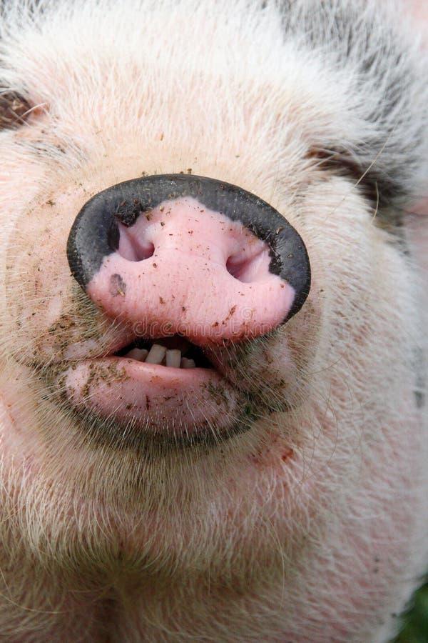 Pierwszy świniowaty plan fotografia royalty free