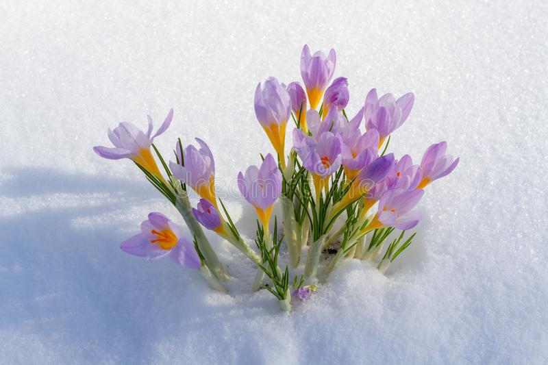 Pierwszy błękitny krokus kwitnie, wiosna szafran w puszystym śniegu obraz royalty free