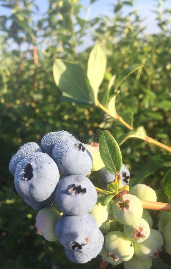 Pierwszy czarne jagody sezon obrazy stock