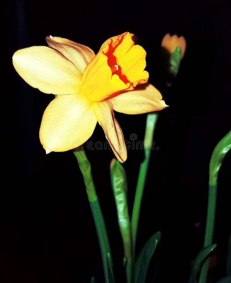 Pierwszy daffodils kwitnący w zimie fotografia stock