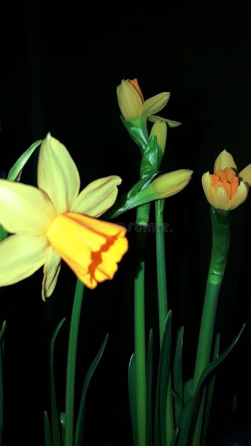 Pierwszy daffodils kwitnący w zimie zdjęcia stock