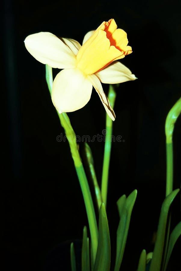 Pierwszy daffodils piękne kwiaty Pierwszy kwiaty zima zdjęcie stock