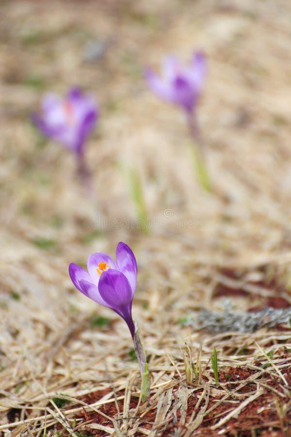 Pierwszy dzicy kwiaty wiosna zdjęcia royalty free