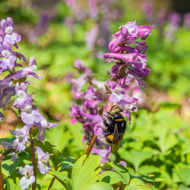 Pierwszy fiołkowi dzicy lasów kwiaty i mamroczą pszczoły zdjęcie royalty free