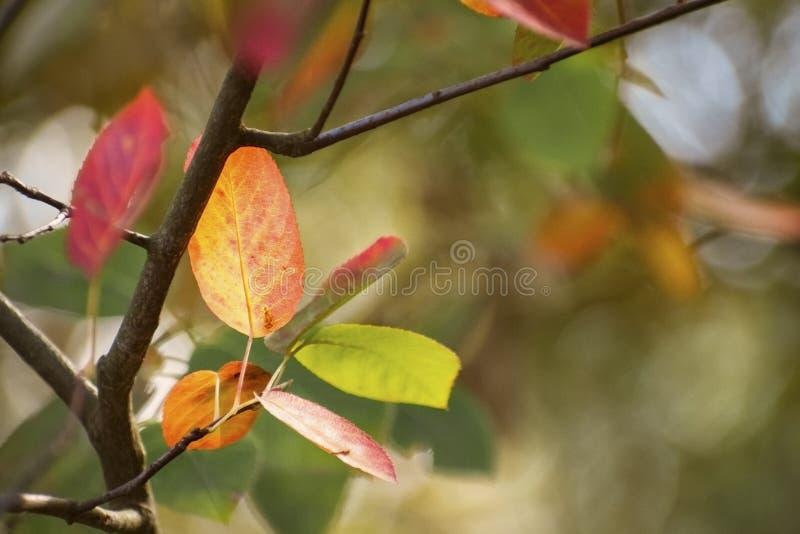 Pierwszy jesień liście w czerwonych i złotych kolorach jako sezonowy natura obraz royalty free