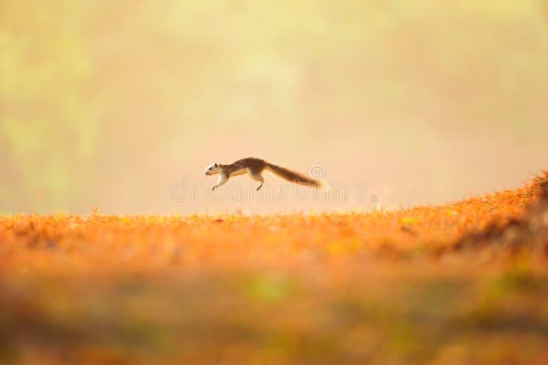 Pierwszy krok Zmienna wiewiórka na złotym obszarze trawiastym troszkę obraz stock