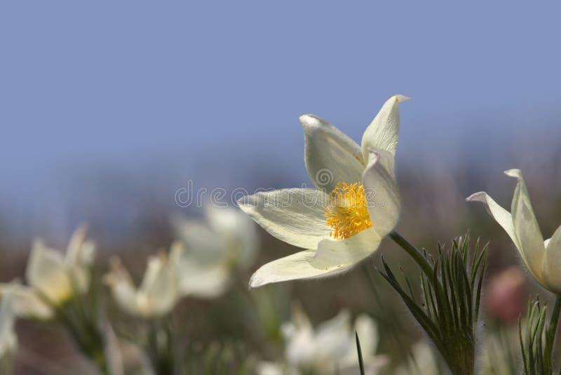pierwszy kwiaty zdjęcia royalty free