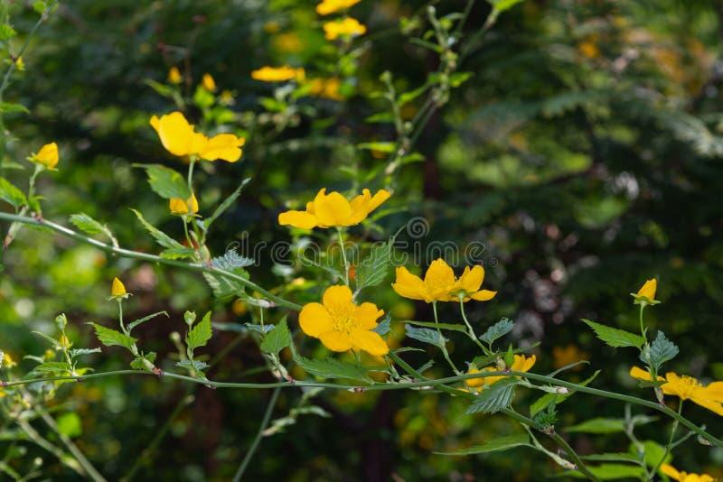 Pierwszy lasowych wiosna kwiatów zamazany tło zdjęcia royalty free