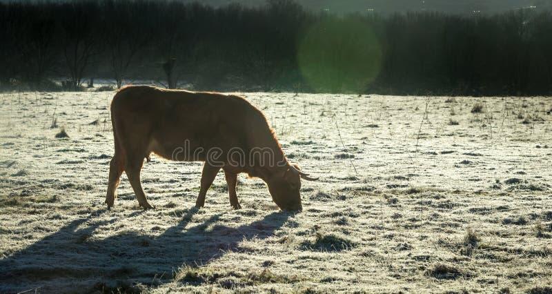 Pierwszy mrozy na polu Zima przychodzi Bydlę czuje zdjęcia stock