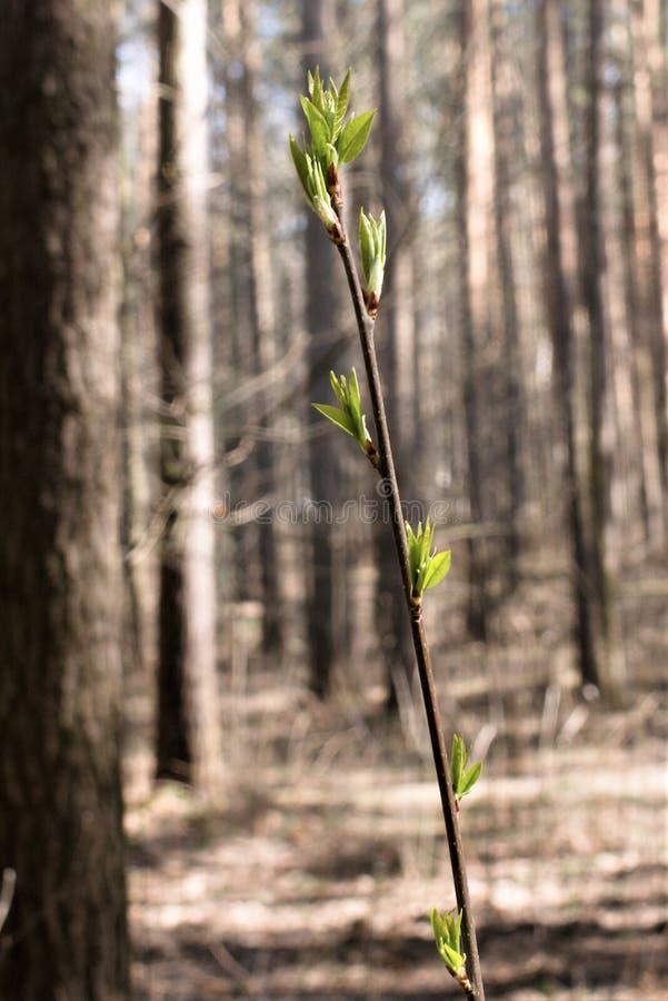 Pierwszy opuszcza na gałązce w lesie w wczesnej wiośnie zdjęcia royalty free