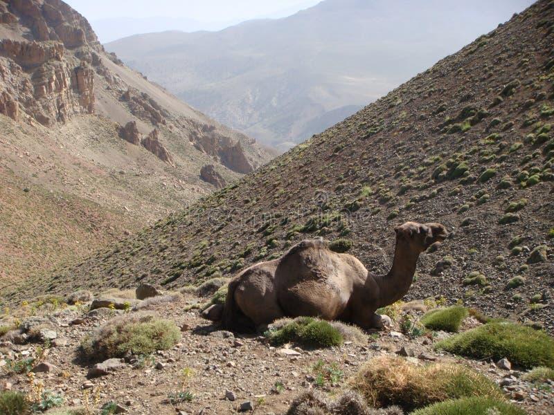 Pierwszy plan wielbłąd w górach atlant w Maroc obraz royalty free