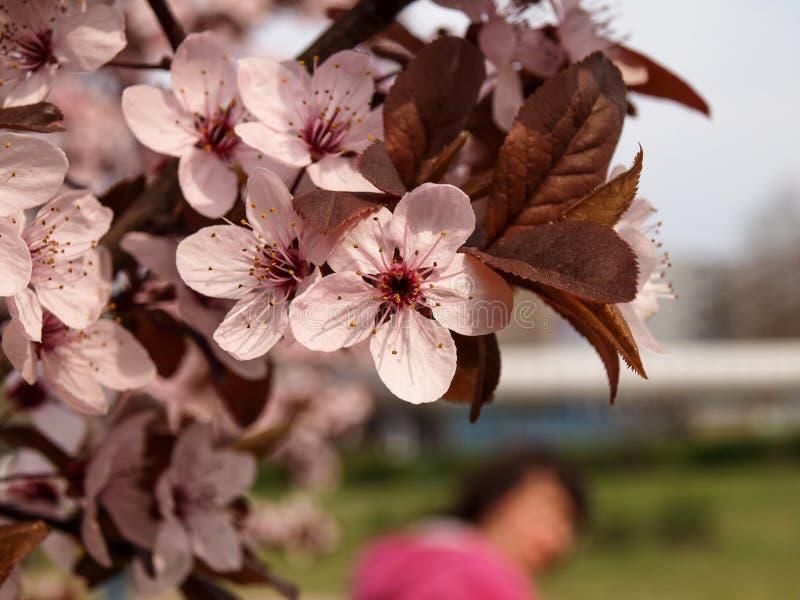 Pierwszy potomstwa opuszczają i kwitną na jabłko gałąź zdjęcia royalty free