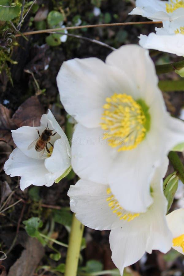 Pierwszy pszczoła zapyla Helleborus Niger - Pierwszy kwiaty wiosna zdjęcia stock