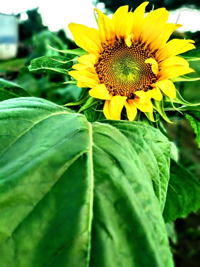 Pierwszy słonecznik kwitnąć w tym roku obraz royalty free